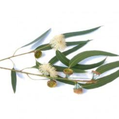 Olio Essenziale Di Eucalipto   10 ml