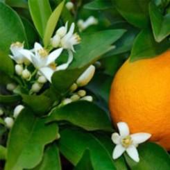 Olio Essenziale di Petitgrain - Arancio Amaro  10 ml