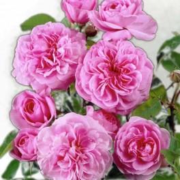 Olio Essenziale di Rosa Centifolia  10 ml
