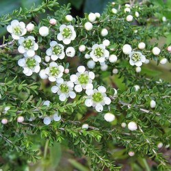Olio Essenziale di Lemon Tea Tree