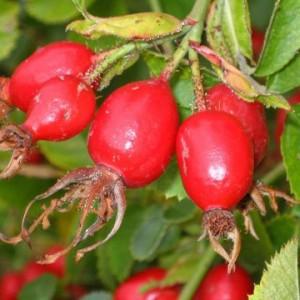 Rosa Mosqueta frutto rosso ricco di semi